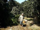 """""""الزراعة"""" تصدر حزمة إرشادية لحماية أشجار المانجو تجنبا للإصابة بالسرطانات"""