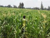 الزراعة: بدء حصاد 2.7 مليون فدان منزرعة ذرة صفراء وبيضاء صيفى