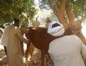 الحمي القلاعية تستنزف الثروة الحيوانية بأسوان.. ومزارعون يطالبون بتعويض