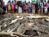 صور..انتقاما لمقتل مواطن.. قرويون في إندونيسيا يقتلون قرابة 300 تمساح