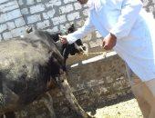 صور.. ننشر خطة بيطرى الداخلة لتنفيذ حملة تحصين الماشية ضد مرض الحمى القلاعية