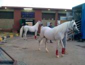 الكويت توافق على استئناف استيراد الخيول المصرية