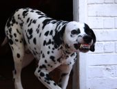 صور.. تعرف على أهم إشارات ولغة جسد الكلب قبل هجومه على الإنسان