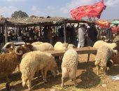 الزراعة تعلن أسعار الأضاحى المطروحة بالمحافظات الأسبوع المقبل
