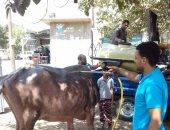صور.. رش جماعى وعلاج 7 آلاف و759 رأس ماشية فى 4 قوافل بيطرية بقرى كفر الشيخ