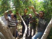 """""""الزراعة"""": برامج إرشادية لرى وتسميد أشجار الرمان خلال موسم الحصاد"""