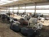 الزراعة تعلن اختيار أول قرية نموذجية لتربية الأبقار الألمانى ببنى سويف