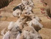 """ننشر الخريطة التفصيلية لأضاحى """"الزراعة"""".. 7 قطاعات تطرح 3000 رأس.. عجول بقرى بـ52 جنيها للكيلو القائم و42 للجاموسى و60 للأغنام.. زيادة معروض اللحوم والسلع بالمنافذ.. ولجان للكشف على الماشية بالأسواق قبل البيع"""