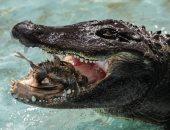 """صور.. """"ميوجا"""" أقدم تمساح أمريكى فى العالم بصربيا"""