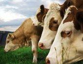 """""""جنون البقر """" يظهر فى مزارع إسكتلندا..  والحكومة تحظر نقل الماشية"""