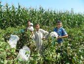 ارتفاع المساحات المنزرعة قطن لـ227.3 ألف فدان.. ولجان المتابعة تواصل الحصر