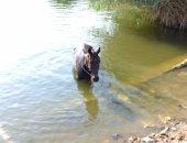 """""""عايش اللحظة"""".. حصان يسبح فى المياه برفقة صاحبه فى عين الصيرة"""