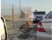 هروب ملك الغابة.. أسد يهاجم السيارات بالكويت ويحدث فزعاً بين المارة.. فيديو