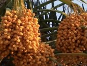 """حزمة إرشادية تقدمها """"الزراعة"""" لعدم تساقط التمر قبل الحصاد.. تعرف عليها"""