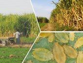 """صور.. """"الثاقبات الزراعية"""" حشرة تهدد محصولى القصب والذرة بأسوان.. المزارعون: أراضينا مهددة بالبوار.. والزراعة تعلن الطوارئ والانتهاء من مكافحتها بـ50 ألف فدان.. وخبراء ينصحون بالمواجهة الطبيعية بعيدا عن المبيدات"""