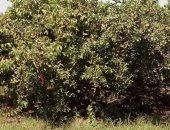 """""""الزراعة"""" تحدد إجراءات تسميد ورى أشجار الجوافة لزيادة الإنتاج"""