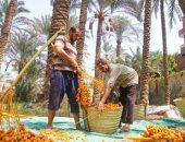 """""""زراعة الوادى الجديد"""": حصاد 55 ألف طن من التمر السيوى بالمحافظة"""