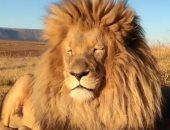 أسد غاضب يهاجم طفلة ووالدها فى جنوب افريقيا