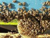 سرب من النحل يعطل مباراة للكريكت فى أستراليا