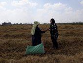 فيديو وصور.. حصاد 190 ألف فدان أرز بكفر الشيخ