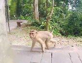 فيديو.. قرد صغير يداعب سائحا فى تايلاند لخطف كاميرا التصوير