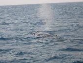 """صور.. """"الحوت الأحدب"""" يظهر فى مياه البحر الأحمر بعد عامين من آخر ظهور له"""