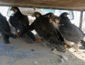"""صور.. """"البيئة"""" تنقذ 95 صقرا مهددا بالإنقراض قبل الاتجار غير المشروع بها"""