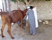 بيطرى القليوبية: تحصين 176 ألف رأس ماشية ضد الحمى القلاعية يناير الجاري