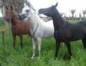 """فيديو.. 9 خيول مصرية يهاجرون إلى ألمانيا """"اعرف قصتهم"""""""