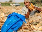 صور.. بدء جنى الذرة الصفراء.. والفلاحون: أفضل المحاصيل والطن بـ3800 جنيه