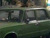 شكوى من انتشار الكلاب الضالة بشارع الإمام الحسينى فى الشرابية