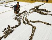فيديو.. العثور على أكبر هيكل عظمى لديناصور فى اليابان منذ 72 مليون عام