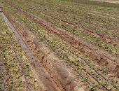 الزراعة :الموافقة على تصدير  25.800 شتلة فراولة وبرتقال  وعنب خلال أسبوع