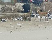 قارئ يشكو انتشار الكلاب الضالة أمام مستشفى الوراق العام بالجيزة