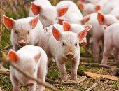 اكتشاف تفشى جديد لحمى الخنازير الأفريقية فى إقليم تشجيانج الصينى