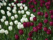 العاصمة الهولندية تحتفل باليوم الوطنى لأزهار التوليب.. فيديو