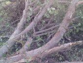صور..استغاثة بسبب قطع الأشجار فى قرية شنشور بالمنوفية