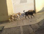 قارئ يشكو من انتشار الكلاب الضالة بأرض الجنينة فى الوايلى بالقاهرة