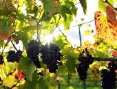 4 توصيات مع بدء جمع أصناف العنب المبكرة خلال يوليو.. تعرف عليها