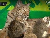 شاهد.. حيوان الوشق المفترس يربى قططا صغيرة بحديقة حيوان روسية