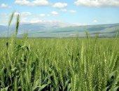 """""""الزراعة"""" تعلن عن ارتفاع مساحات القمح المنزرعة لـ2.8 مليون فدان.. وجارى الحصر"""