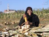 """صورة اليوم.. فى موسم حصاد الذرة """"مشوى يا حمام"""""""