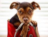 شاهد.. تلير فيلم A Dog's Way Home يتحدث عن وفاء الكلاب