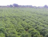 10.5 مليون دولار قيمة صادرات النباتات الطبية فى يونيو الماضى