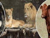 تعرف حاجة عن فترات حمل الحيوانات؟  الفيل الأطول بـ24 شهرا والجمل بـ365 يوما.. وأقصرها الفأر بـ21 والأرنب 31 يوما.. والذئب كل 64 والكلب والقطة 63.. ونقيب البيطريين يكشف: نعالج العقم عند الحيوان بالتلقيح الصناعى