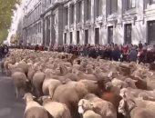 شاهد.. آلاف الخراف تتجول فى شوارع العاصمة الأسبانية مدريد