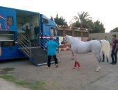 صور.. فتح باب تصدير الخيول إلى الأردن لأول مرة منذ 8 سنوات