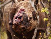 مصور يحكى مأساة وحيد قرن مهدد بالانقراض مات بعد قطع قرونه .. اعرف الحكاية