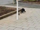 """""""توم وجيرى بالمقلوب"""".. فأر يهاجم قطة بشكل كوميدى (فيديو)"""