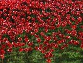 تعرف على علاقة زهرة الخشخاش والضحايا من الجنود فى الحرب العالمية الأولى